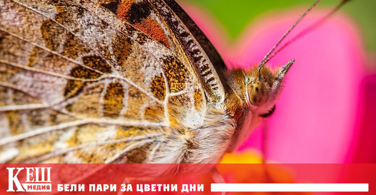 Дяволската пеперуда (Vanessa cardui) е един от тези видове, като